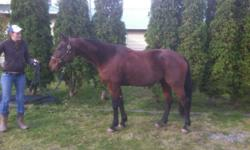 Black leather aka Mercedes Born may 8 1992 15.2h bay mare rider - beginner/intermediate standardbred horse   Mercedes is a sweet girl with impecciable ground manners. Great in the cross-ties, to lead, catch, groom, pick her feet, for the farrier. She is