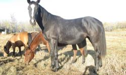 North American Spotted Draft / Thoroughbred Cross. Baby was born May 1, 2010, she is halter broke and friendly. Weight as of Dec 19, 2011 - 1175 lbs. This is going to be one big girl! Call 780-658-0002 for further info.