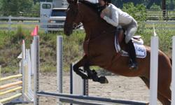"""11yr old 15.2hh competitive 3'3"""" Jumper and Equitation gelding. Counter-canter, flying changes and established lateral work also has potential to be a dressage competitor.  For sale as he has been sadly outgrown, loves to work and show.  Best suited to a"""