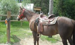 """This 15"""" circle Y saddle is very comfortable and is in great shape.  Stored indoors and regularly washed and oiled.  FQH bars. Will deliver to Kamloops free or ship elsewhere at buyer's expense."""