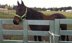 Hi, my name is Thor, im a dark stalky bay, roughly 15hh maybe taller and I like to be around people. I am 20 yrs old and was used as a trail horse for 13 yrs at Buck Shot Ranch & Trail Rides in Quesnel. Im friendly with fellow horses, I have good feet,