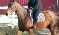 MUST SELL! 16.2 hands mare,  sweet well mannered dark bay mare, walks, trots, canters.  good for farrier, ties trailers well.  UTD on shots and trim.  Beautiful movement and  disposition,  must go to confident rider.  HAS BEEN USED FOR HUNTER BUT WOULD