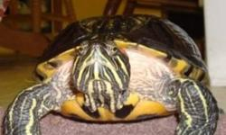 16 YR oLD RED EAR SLIDER   Due to moving Franklin needs a good home   55 gal tank   fluval 205 filtration system (needs primer)   Fluval submersible filtration system   rocks, Uv Uva light, and lamp, rocks, meds, and a basic walk through on her diet. She