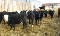 We have 17 SimmX BLK & BBF Bred heifers bred for May 7th calving to horned hereford, light birthweight bulls.  We sell heifers every year and every customer has been really happy with the animals they have bought.  These heifers are the top end of the