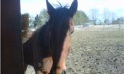 """Do you have long legs and need a horse to fit you?  """"Woody"""" is tall but slim and will carry a man or woman. He is an 8 year old Standardbred that grew too tall with very long legs for racing.  His colour is Bay with black stockings, mane and tail.  He has"""