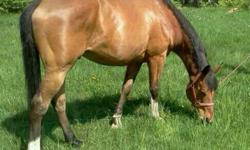 10 year old bay Warmblood Gelding. 17h with a large build. Up to date on shots, teeth, worming, feet. Currently being used for trail riding, flat work and jumping (He loves to jump!) Lots of personality, loves people. I just dont have time for him. Lots