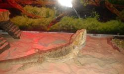 18 month old Bearded Dragon, 40 gallon tank and all accessories, including Heat light and fixture, sun light and fixture. Heating pad. Food and water dish. Rocks and sand. Very very healthy and active! Eats very well. We are pretty sure it's a female but