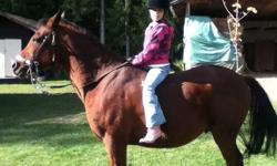 12 year old 14'1 hands arabian gelding. Very well broke. used for trail riding, great in a group or out alone, loves water. Relocating so must sell.