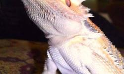 Ducky is a very calm and docile bearded dragon. I have had her since she was able to leave her clutch. I bought her from a breeder in Kelowna a year and a half ago. I am moving and cannot have pets sadly. Shes my favorit. She does to the beach with me,