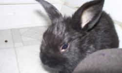 HI,   I have one baby Bunny Left.. Male Dwarf Lop cros   10-12 weeks..   cute n cuddly   I will be coming to Kamloops this sunday!..   you can meet me in town to pick him up..   give me a call and leave me with your number and i will call you when i get