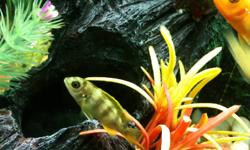 """1"""" Blue Zebra Cichlids for sale. All are healthy, eat well.   Asking $3 each, or 5 of them for for $12.   2 Large Red X Red and 1 Red Zebra Cichlids also for sale, $30."""