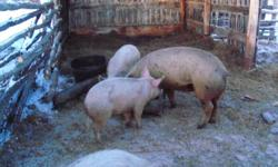 1 Bred Sow- healthy $250.00  1 Boar proven breeder- healthy $150.00  2 Young Boars- $40.00 each No growth hormones; Grain fed, no chemicals Take Sow and 2 young Boars for $300.00