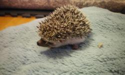 I have 1 Female Baby Hedgehog  Born on the 7th of October Ready to go to her new forever homes November 18th  $150 Reasons why Hedgehogs cost this Much: 1.      It is very hard to get the right male & female to match up for breeding.   2.      You have to