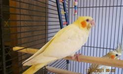 I have 1 handfed baby cockatiel left. She is a sweet little lutino female that will be ready for her new home December 16. E-mail me if you'd like to see her.