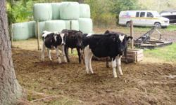 10 healthy 1 year old (male) Steers Forsale. Brown swiss, Herferd/Brownswiss Cross. Raised on family farm in Errinton, well looked after, very healthy, All Natural. Great for hobbie farm, beef, pet. $1.25LB cheaper if you buy more then one. Average age 1