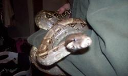 I am moving and don't think that I'll have enough time for my snake. He is a one year old hog island red tail boa constrictor. I posted an ad a few weeks ago asking how much people would like/be willing to pay for him. I didn't get many offers but the