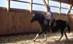 Lovely, solid, purebred and registered pinto coloured Curly Mare For Sale. This mare does it all - rides english and western, drives, has great foals, enjoys attention - and she is 100% sound and sane! As an added bonus, this mare is bred to our black and