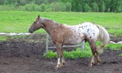 For sale: 2000 registered appaloosa stallion. Color: chestnut, Description: white with spots over body and hips/star and stripe/ LF-lightening marks/ LH-lightening marks/ RF-lightening marks/ RH-lightening marks. Easy handling, quiet disposition. Had been