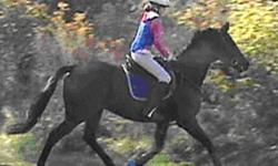 """2001 bay Thoroughbred  gelding.  He is a 15'3 with one white pastern and a small star.  This is a very """"pretty"""" boy with a lovely neck and refined head.  He is a wonderful mover with nice natural elevation at the trot and a smooth canter.  He is well"""