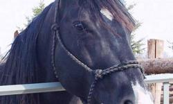 Tamboreen Queen, aka Tam, is a stunning jet black 2002 AQHA broodmare, extremely stocky and strong, straight and sound, and a true sweetheart. She is 90.04% foundation bred, and eligible for NFQHA and FQHA registration, Tam had always produced beautiful