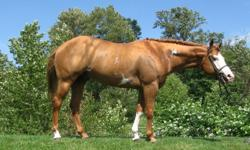 DOB : 2004 PRICE : To be negotiated Hesamanfromsnowyriver 2004 15.2+ hand chestnut overo stallion by a grandson of Tuffy Two Spades (APHA Champion Sire, ROM Sire, Superior Sire, Versatility Sire, World and Res. World Champion Sire, National Champion Sire,