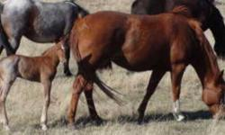 2006 AQHA sorrel mare MM Half A Cowgirl, 14.3hh and solid. She produced a 2010 AQHA red Roan filly and is exposed to the same AQHA stallion for a 2012 foal. She is DNA'd and parentage verified. She has Boston Mac, Kelde Bonanza, Have Gone, Half Pill and