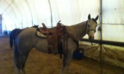 2007 Beautiful Gray APHA Prospect whos breeding speaks for itself.   She has absolutly zero buck, the kindest eye you have ever seen, and willing to work and learn. This mare is as quiet as they come, nothing bothers her. She has been started on the