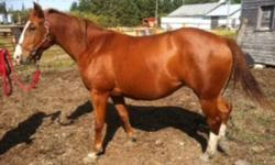 Asking $750 OBO 4yr old solid chestnut mare, 3 socks (2 hind, one front) & blaze. Catches, leads, ties, loads. Have done a little bit of ground work with her, she's a smart horse who's generally easy to work with, a quick learner. Easy keeper, regular