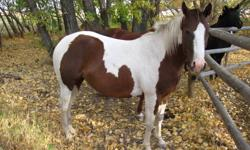 2007 APHA Tobiano Paint Mare sire- crackin dry doc from crackin hickory.  Dame-chicks rocket threebar.  Priced to sell!!