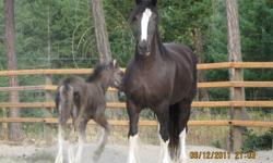 """Coal Black Drafts is offering 2 Imported Purebred Registered Shires for sale due to having to downsize.      """"Bremer's Black Dahlia"""" 2007 Imported Purbred Double Registered Black Shire Mare. Started under saddle, ground driven, proven brood mare."""