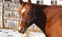 Here is a beautiful, correct, and sound mare. She is turning 5 this summer but has already had a foal and is bred back to a beautiful double jack bred registered buckskin quarter horse (Drifters Paddy) for spring 2012. This mare is not yet broke, but I am