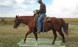 """Pretty mare with lots of chrome to dress her up.  She has excellent conformation--you could ride her for a while, then raise babies later down the road.  Awesome traveller:  """"Charm"""" is very level in her movement and is smooth.  She has been ridden in the"""