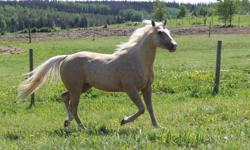For Sale is a 15.2 hh 2008 registered palomino mare. She is well broke and has had lots of miles put on her in AB this summer. Not herd bound or spooky, excellent on trails. Gorgeous mane and tail, easy going, athletic and well bred. Can go in any