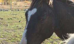 """Super sweet gelding that is really willing to please.  Easy to handle in every way, quiet and easy to catch.  Loves people, loads, leads, ties and trims well.  """"Pilot"""" would make an excellent penning, working cow horse, or reiner...you decide.   Asking"""