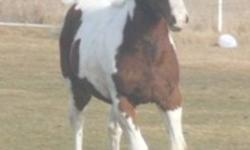 This 2011 filly is sure to reach 15.3 or plus. Nice bone. Should mature into nice pleasure mount &/or show horse, go western or english. she is bred to be athletic. A young horse experienced home a must!   This 2010 gelding should mature into nice