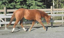 Two Chex Jewel   DOB : April 12 2009 PRICE : $4500 CAD This pretty little filly is sired by Chex Nu Jewel (Over $1950 in earnings), making her a granddaughter to Nu Chex To Cash (NRHA $57,583, NRCHA $1,558).  Her dam San Andrea Chex NRHA open money earner