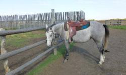 If you are looking for a prospect this is one of those hard to find great minded, quiet horses.  She is lightly started with only 6 rides.  Soft, willing, and no buck.  Walk, trot, back etc.  Easy to catch, no vices. She will be smaller, currently stands