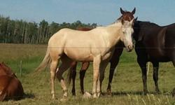 AKA Docs Gold Gypsy - Barn Name Emmy Lou   Emmy Lou is a beautiful palomino filly born April 30, 2009 (AQHA#5216225), she is correct, great disposition and a quick learner. She is a creamy, dappled palomino color with a wide white blaze to add a little