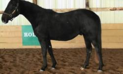 http://youtu.be/0FDeurPBcZE     Gone Fishin' - 2009 registered CSH 3/4 Hanoverian gelding by Gringo  [ Gallipoli -champion hunter sire in USA ] out of a Dol Savirt mare. Fisher is dark grey , 16.1 hh with an exceptional character . He is quiet , friendly