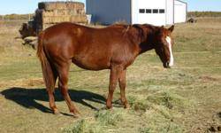 Looking for a great prospect to start this year? Dam is Sask Reined Cowhorse point earner, sire is son of Docs Little Pesco (Peppy San Badger) this is a great looking athletic colt with a great mind. Well mannered, easy to catch, quiet, ties, farrier,