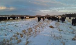 200 Good black angus easy calving Bred Heifers . All home raised preg. checked & ivomeced . $1400.00 ph 306.984.7272 Spiritwood Sk.