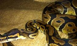 I have a 2010 male normal, can probably breed this season. Great feeder, docile and in great health. Will trade for cresteds, leopards, beardies and pretty much anything just ask !! Can meet today! This ad was posted with the Kijiji Classifieds app.