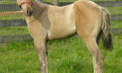 Smokin Mariposa   Dam : QR Riata MeradaSire : Chex Smokin DealDOB : May 31, 2011 Colour : Dunskin homozygous black filly 2011 AQHA filly for sale.  Incentive Fund Eligible, as well as NFQHA/FQHA/ABRA/IBHA eligible registry.  Will sell fully enrolled and