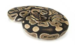 The following Ball Pythons are now for sale: CHRISTMAS SALE ON NOW   Male Yellow Belly ($80 each) NOW: $70 Male Pastel ( $125 each) NOW: $100 Male and Female Normals ($60 each) NOW: $50 Male Bumblebee ($400 each) NOW: $360 Male Spider ($200 each) NOW: