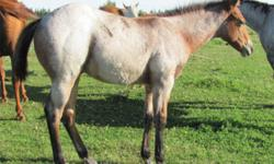 we are offering 3 2011 foals for sale. The price is for right off the mare. With working cow horse, cutting lines, roping and general all around horse. Also have some great colours. They will have their papers, they have been sent but dont have them back