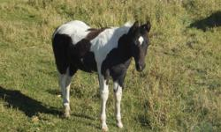 We have registered 2011 weanlings for sale! Also many more that aren't pictured please contact this ad for more info. pic 1-2 Tobiano stud pic 3-4 Rare paint grulla stud pic 5-6 beautiful bay filly with white star, two white socks and a pastern