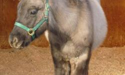 Sarge is a really cute 2011 grullo colt. His dam is an Appaloosa and his sire is a Quarter horse/ Friesian cross.   He is started on halterbreaking and has been dewormed.   Will consider trades of furniture, large parrot cage or anything interesting.   If