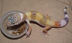 Hi, I am a local Reptiles breeder, I still have 2011 male ball pythons for sale, they are all eating hopper mice or pinky rats. I also have couple leopard geckos babies for sale.   For pricing and more info visit. http://www.kgreptiles.com or call