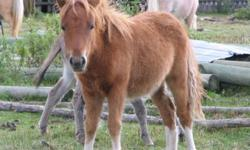 """Beautiful 2011 miniature foals for sale. There is 1 filly who is red with white socks bred appy and pinto, 2 bay colts who are virtually identical, 1 buckskin colt who will stay under 34"""", and 1 light roan? colt. Pedigree backgrounds include appaloosa and"""