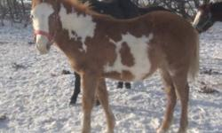 Born: June 18th, 2011 Very Friendly, Halter broke, and leads. Amzing little colt, he has an excellent solid body structure.